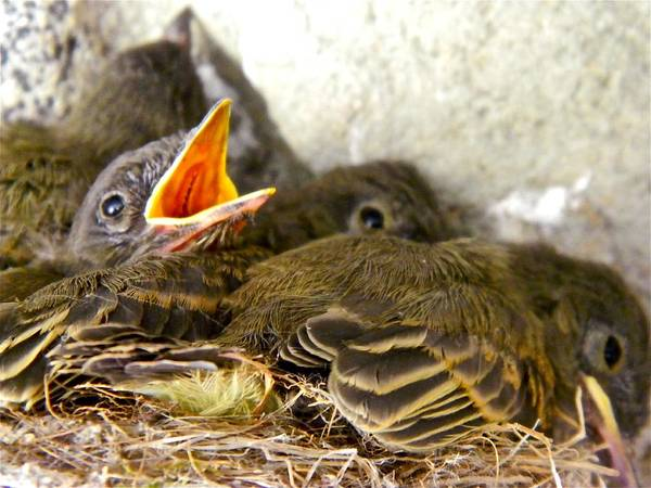 Nests Art Print featuring the photograph Feed Me Seymour by Randy Rosenberger