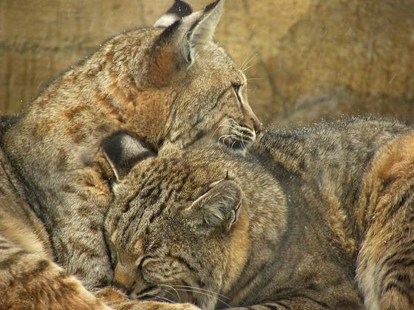 Bobcats Art Print featuring the photograph Forever by Teresa Schomig