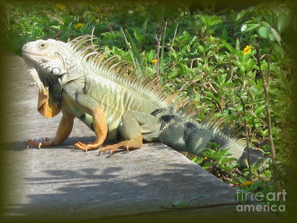 Iguana Art Print featuring the photograph Framed Iguana by Christiane Schulze Art And Photography