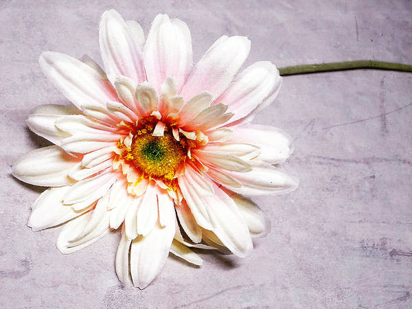 Pink And White Gerber Daisy. Flowers. Pink And White Flowers. Pink And White Petals. Green Stem. Texture. Photography. Print. Poster. Greeting Card. Canvas. Mother's Day Greeting Card. Birthday Greeting Card. Nature. Art Print featuring the photograph Gerber Daisy by Mary Timman