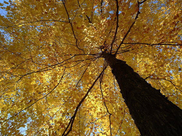Maple Art Print featuring the photograph Golden Canopy by Richard Reeve
