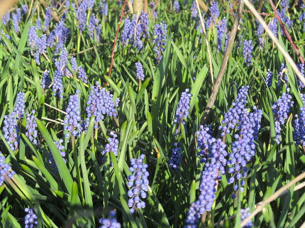 Flower Art Print featuring the photograph Grape Hyacinth by Tina M Wenger