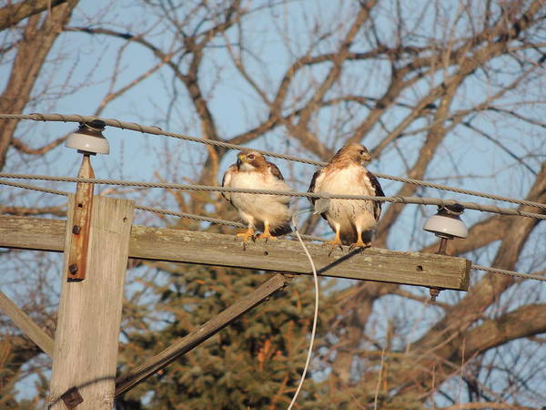 Two Hawks On A Telephone Pole Red Tail Art Print featuring the photograph Hawk Talk by Todd Sherlock