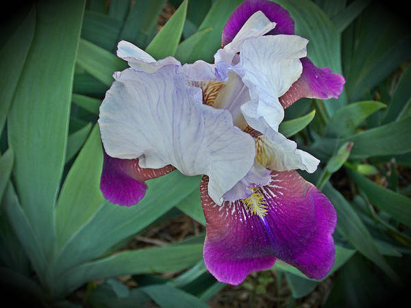 Art Print featuring the photograph Hdr Iris by Regina McLeroy