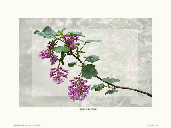 Shrubs Art Print featuring the photograph Ribes Sanguineum - California Currant by Saxon Holt