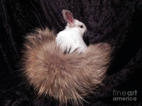 Rabbit Art Print featuring the photograph I Just Love My New Tail by Renee Trenholm