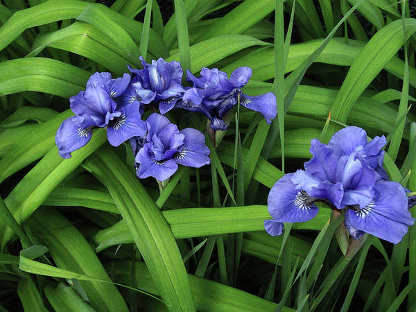 Iris Art Print featuring the photograph Irises by Mary Bedy