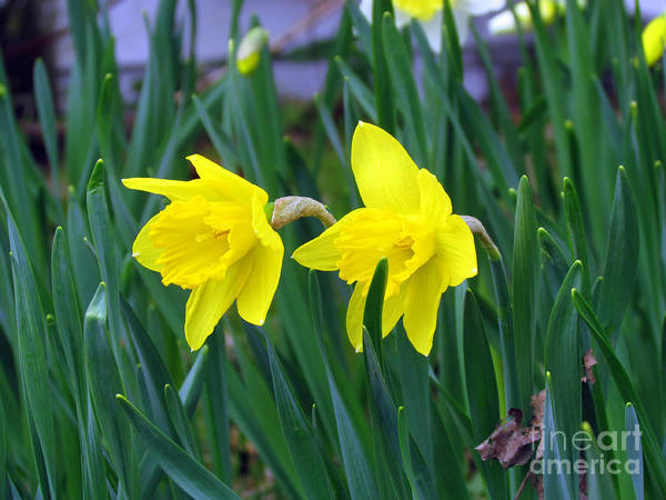 Jonquil Art Print featuring the photograph Jovial Jonquils by Elizabeth Dow