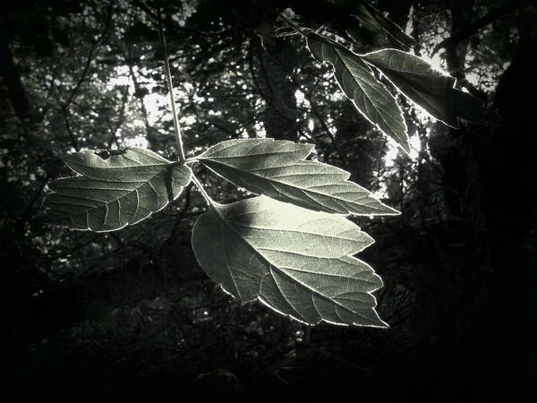 Leaves Print featuring the photograph Last Rays II by Jessica Myscofski