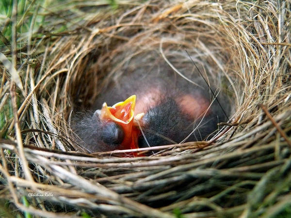 Birds Nest Art Print featuring the photograph Life In The Nest by Christina Rollo