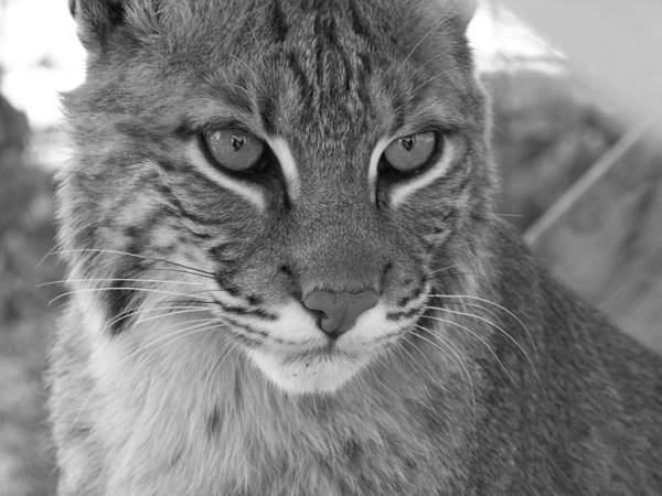 Cats Art Print featuring the photograph Male Bobcat - Black And White by Jennifer King
