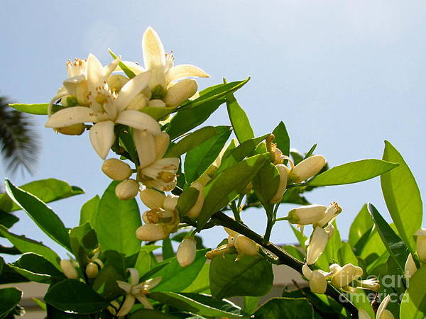 Orange Blossoms Art Print featuring the photograph Orange Blossom Special by Marilyn Smith