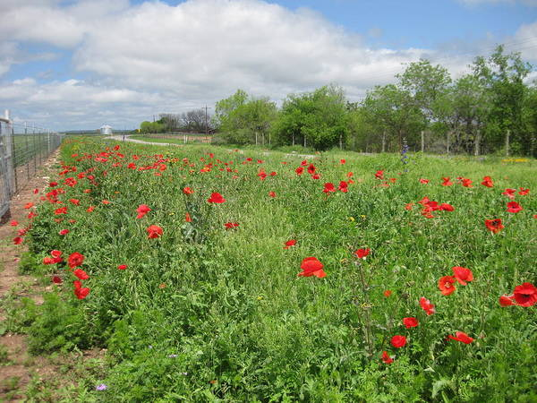 Poppies Art Print featuring the photograph Poppies Near Hondo by Cindy Clements