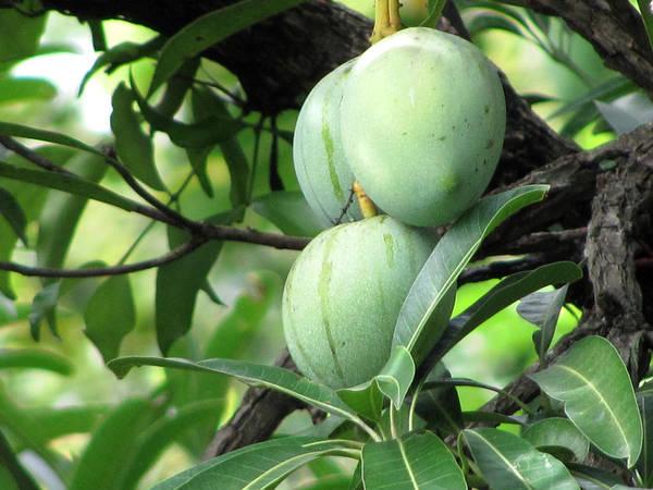 Mango Art Print featuring the photograph Raw Mangoes by Joe Zachariah