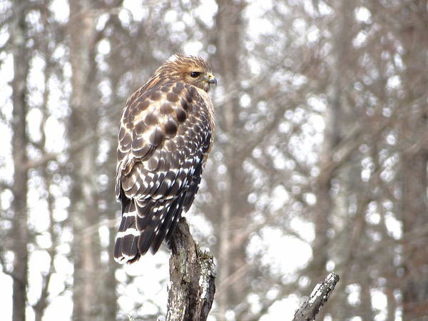 Red-shouldered Hawk Art Print featuring the photograph Red-shouldered Hawk by Betty Berard