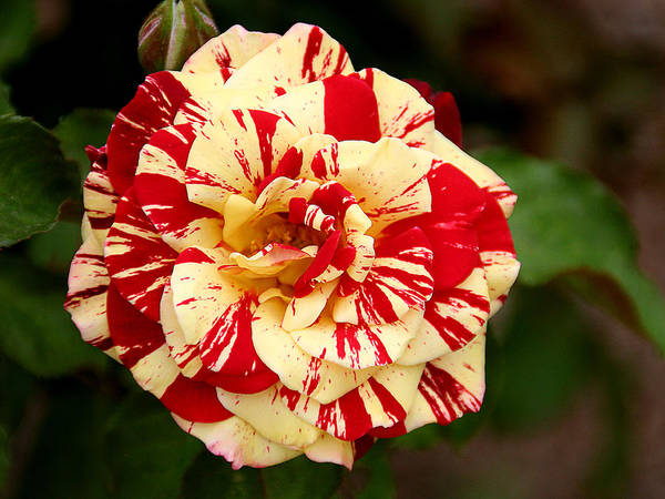 One Print featuring the photograph Red Yellow Rose by Christine Till