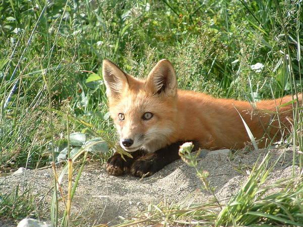 Animal;animals;fox;maine Fox;maine Wildlife;rangeley+maine;red Fox;red+orange;rustic;shy;sly;wildlife;wildlife Photography By Joyce Giasson Art Print featuring the photograph Relaxed Fox by Joyce Giasson