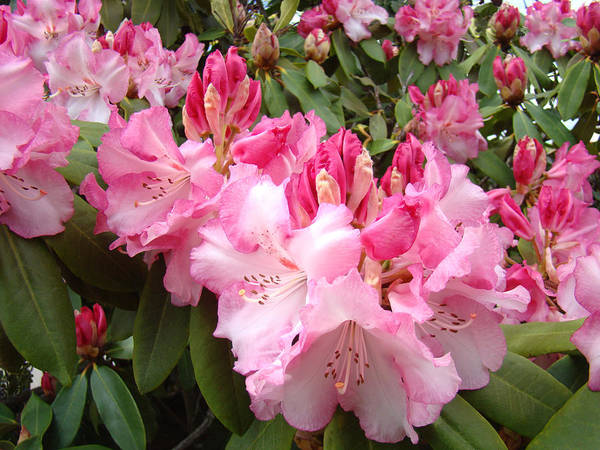 Rhodies Art Print featuring the photograph Rhododendron Garden Art Prints Pink Rhodie Flowers by Baslee Troutman