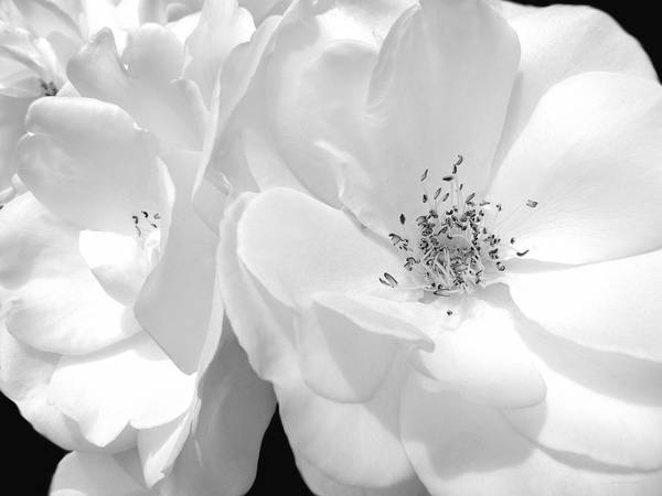 Rose Art Print featuring the photograph Roses Soft Petals In Black And White by Jennie Marie Schell