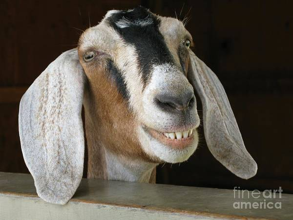 Goat Art Print featuring the photograph Smile Pretty by Ann Horn