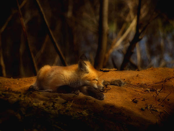 Fox Art Print featuring the photograph Snoozing Kit Fox by Thomas Young