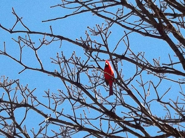 Spring Art Print featuring the photograph Spring Cardinal by Stephan Toman