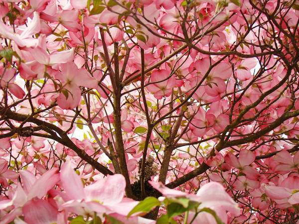 Dogwood Art Print featuring the photograph Spring Pink Dogwood Tree Blososms Art Prints by Baslee Troutman