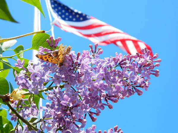 Lilacs Art Print featuring the photograph Spring Pride by Angela Stokes