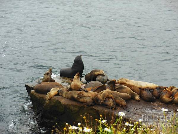 The Sea Lion And His Harem Art Print featuring the photograph The Sea Lion And His Harem by Mary Machare