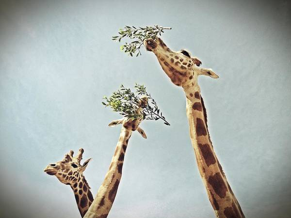 Zoo Art Print featuring the photograph Three Giraffes by Dan Kerr