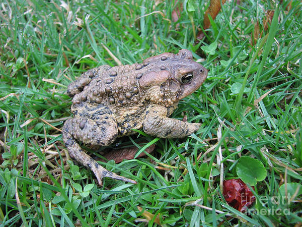 Toad Art Print featuring the photograph Toad by Stacey May