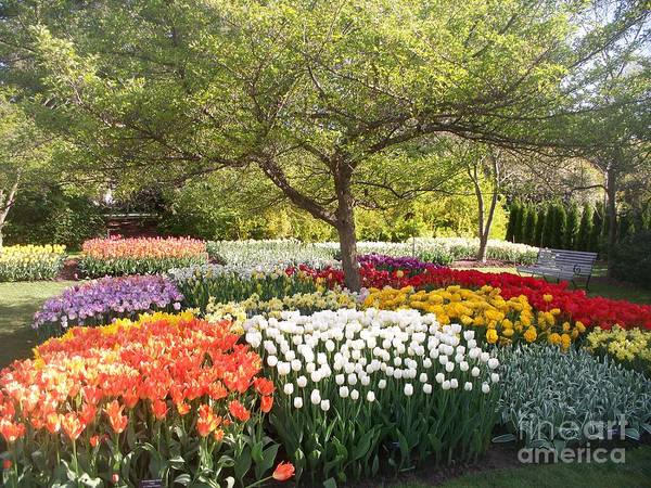 Tulip Art Print featuring the photograph Tulip Garden by Eric Schiabor