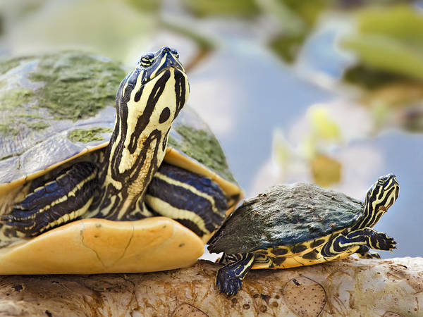 Common Art Print featuring the photograph Turtle Family by Patrick M Lynch