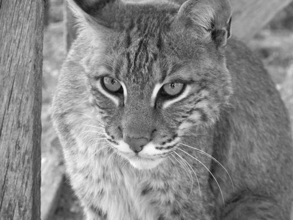 Bobcats Art Print featuring the photograph Watchful Eyes Black And White by Jennifer King