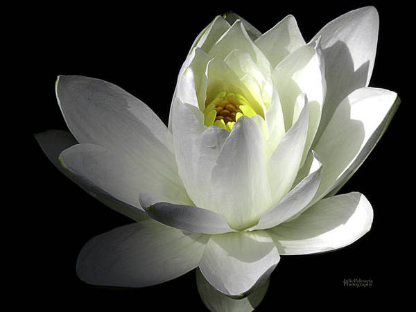 Water Lily Print featuring the photograph White Petals Aquatic Bloom by Julie Palencia