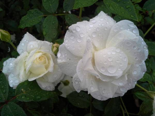Rose Art Print featuring the photograph White Rose And Raindrops by Jo-Ann Hayden