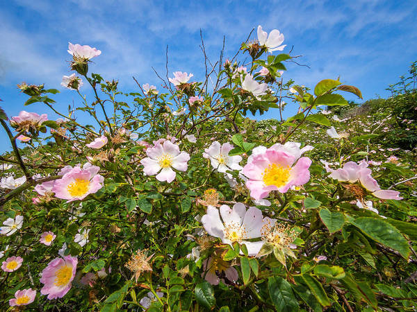 Langeoog Art Print featuring the photograph Wild Dune Rose No3 by Martin Liebermann