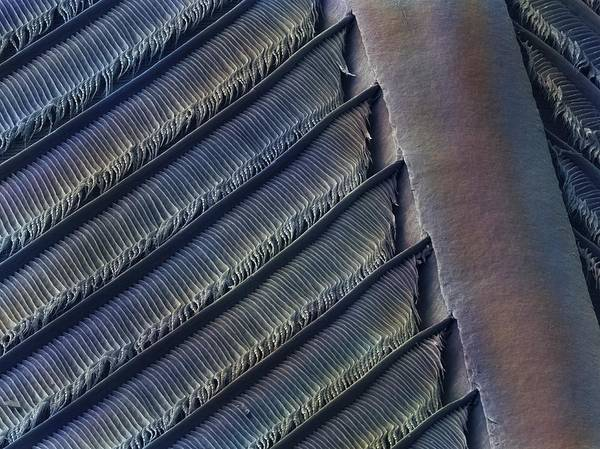 Bird Art Print featuring the photograph Wing Feather Detail Of Swallow Sem by Science Photo Library