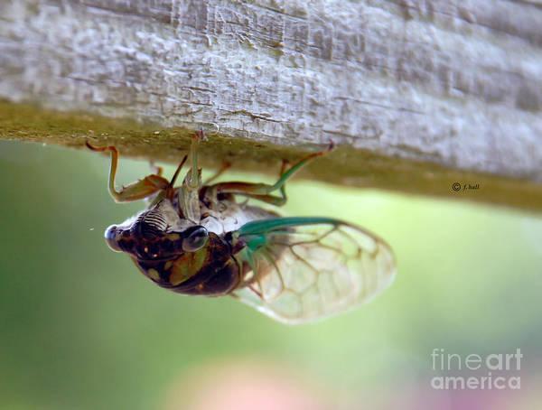 Cicada Art Print featuring the photograph Yep I Am Upside Down by Francine Hall