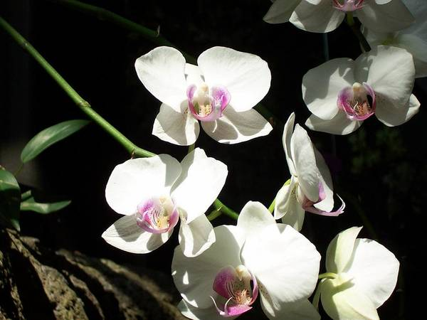 Art Print featuring the photograph Zoo Orchid by Lindsay Kurek