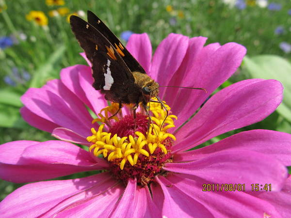 Flowers Art Print featuring the photograph Butterfly On Pink Flower by Tina M Wenger