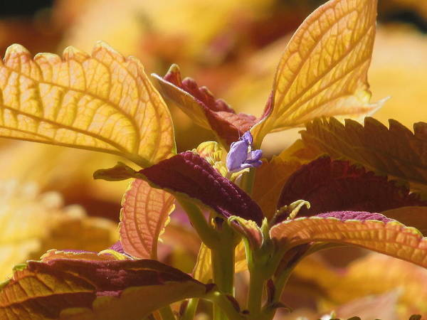 Autumn Art Print featuring the photograph Autumn Coleus by Alfred Ng