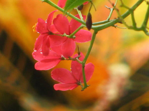 Flower Art Print featuring the photograph Coral Bush by Alfred Ng