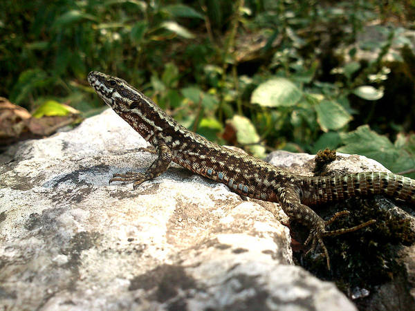 Lizard Art Print featuring the photograph Dragon by Lucy D