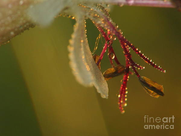 Nature Art Print featuring the photograph Flower And Drops by Odon Czintos