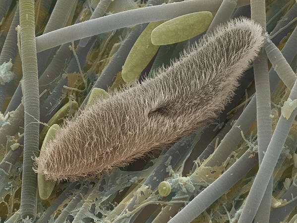 Paramecium Sp. Art Print featuring the photograph Paramecium Sp. Protozoan, Sem by Power And Syred
