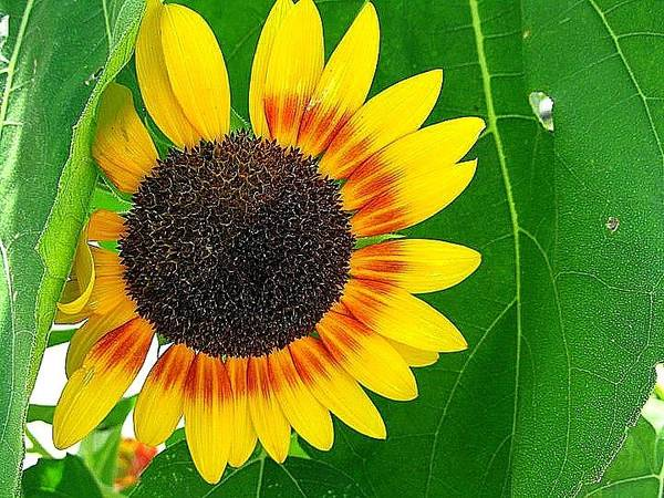 Sunflower Art Print featuring the photograph Peeping Sunflower by Vickie Beasley
