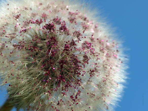 Dandelion Art Print featuring the photograph Pom Pom by Jill Pearce