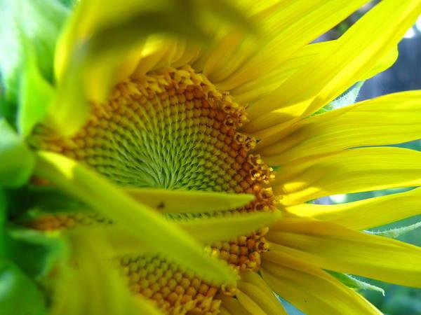 Sunflower Art Print featuring the photograph Sunflower by Sondra Sheren