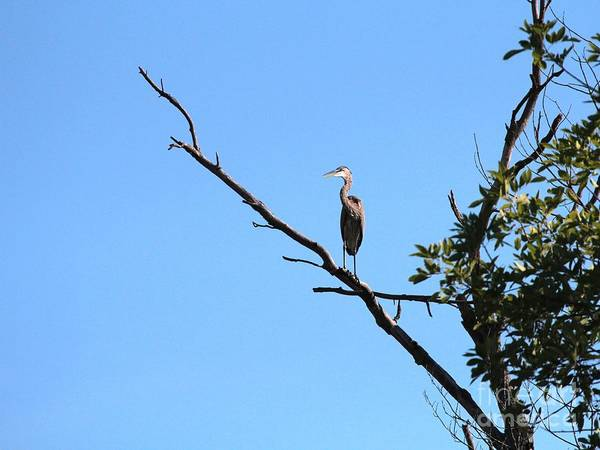 Nature Art Print featuring the photograph Great Blue Heron by Jack R Brock